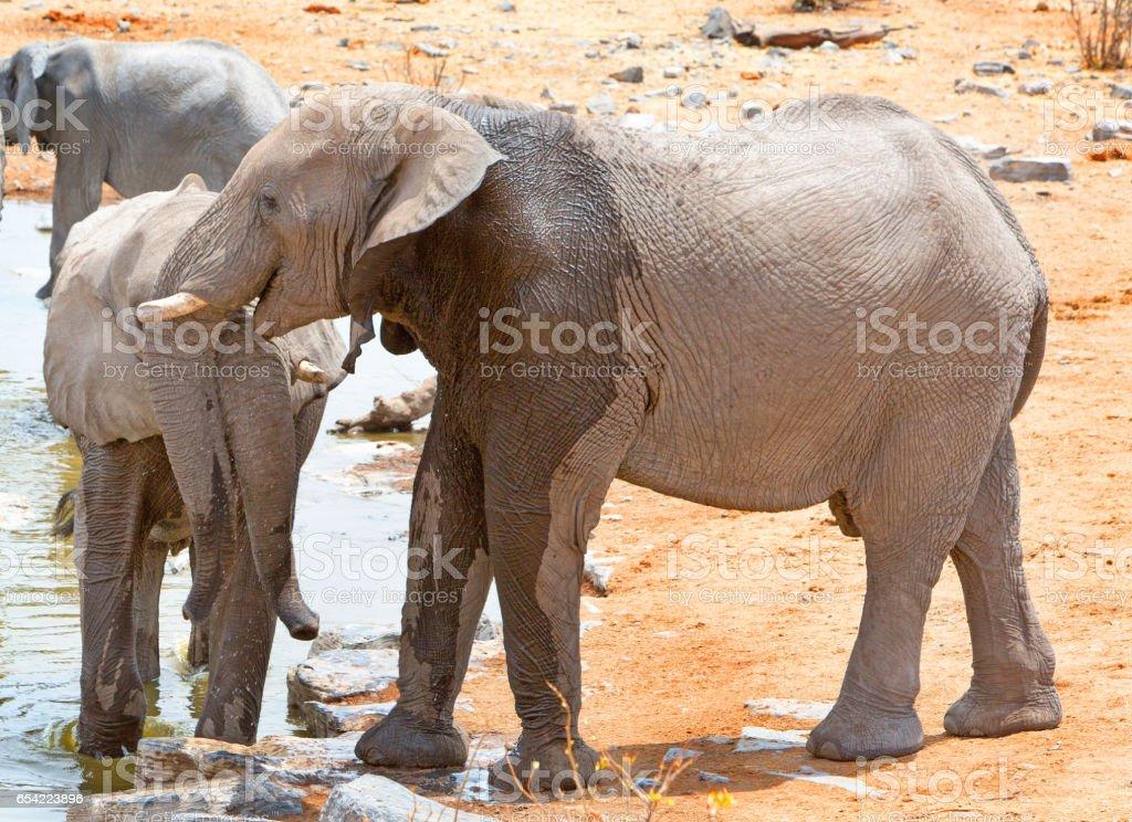 Elephant at a waterhole in Etosha National Park, Namibia stock photo