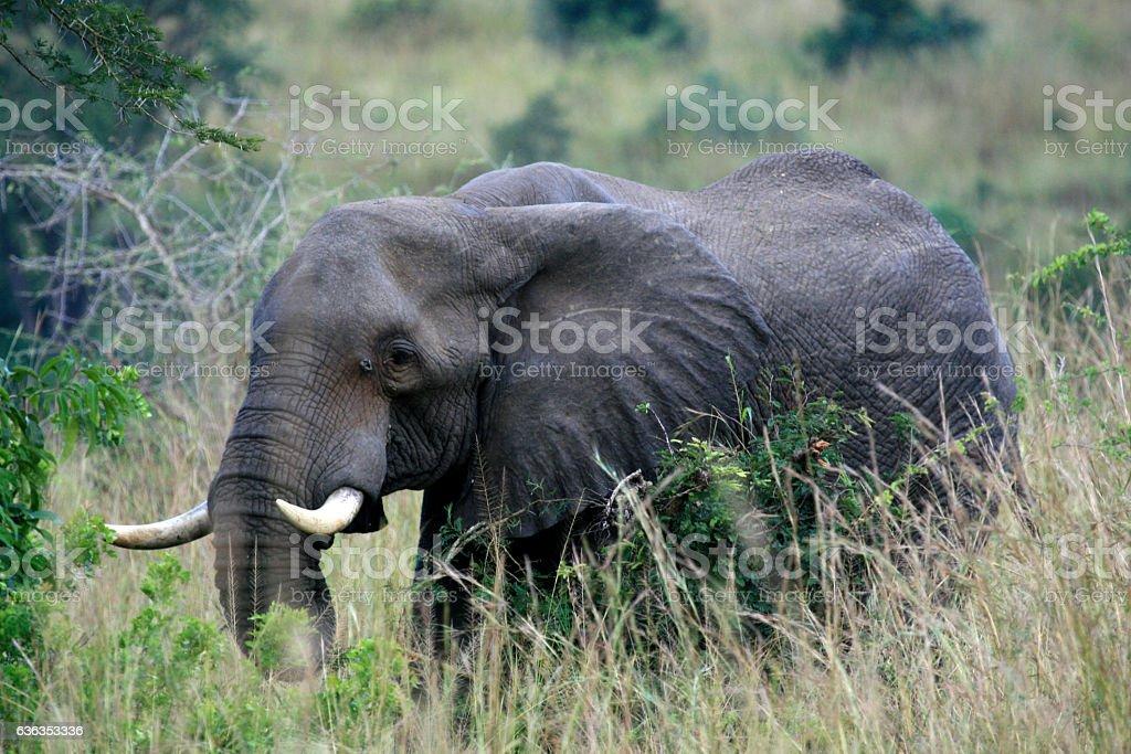 Elephant at Murchison Falls National Park Safari Reserve stock photo