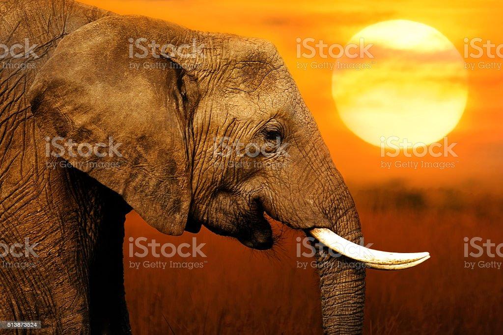 Elephant at  Sunset Background stock photo