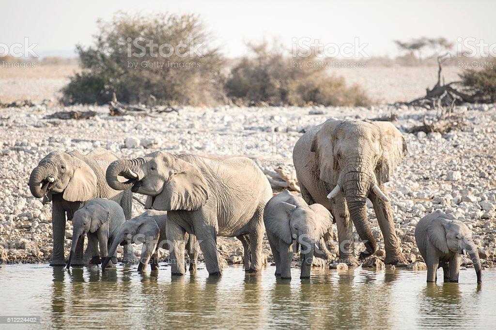 Elephant at the Okaukuejo water hole stock photo