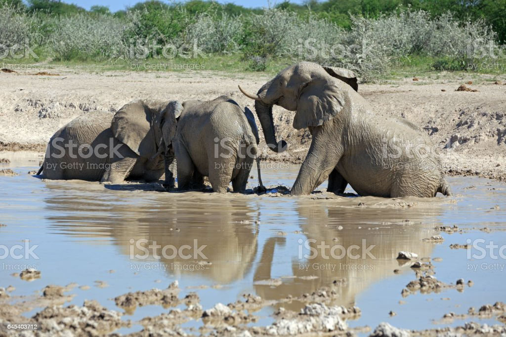 Elephant at the water hole stock photo