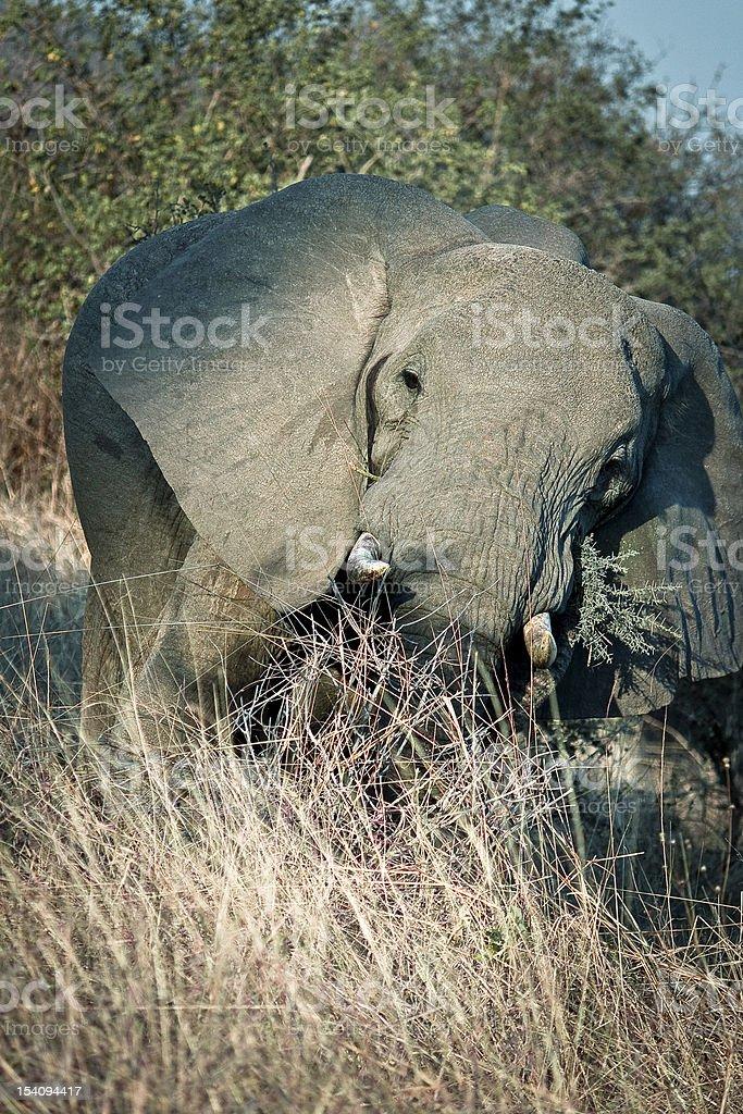 elephant attack royalty-free stock photo