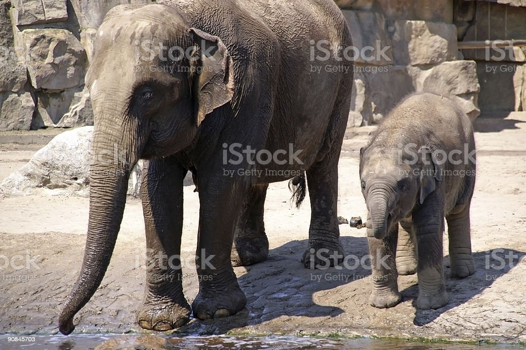 elephant baby learn to drink 1 royalty-free stock photo