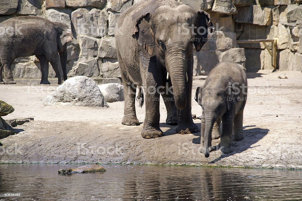 elephant baby learn to drink 3 royalty-free stock photo