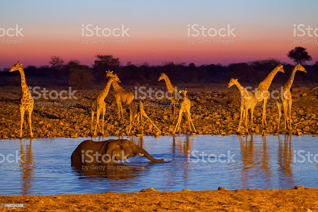 Elephant bathing at Okaukuejo waterhole, giraffe herd in the background stock photo