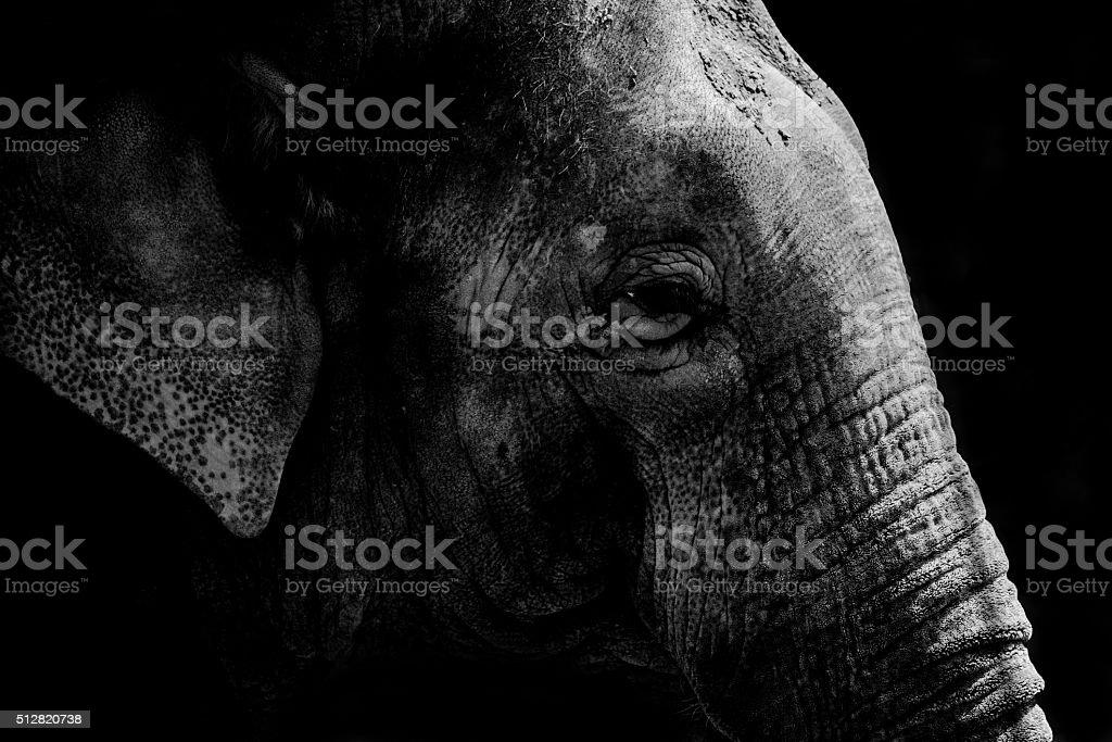 Elephant black and white stock photo