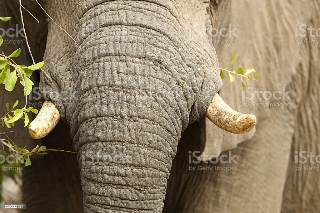 Elephant Browsing Trunk and Tusks stock photo