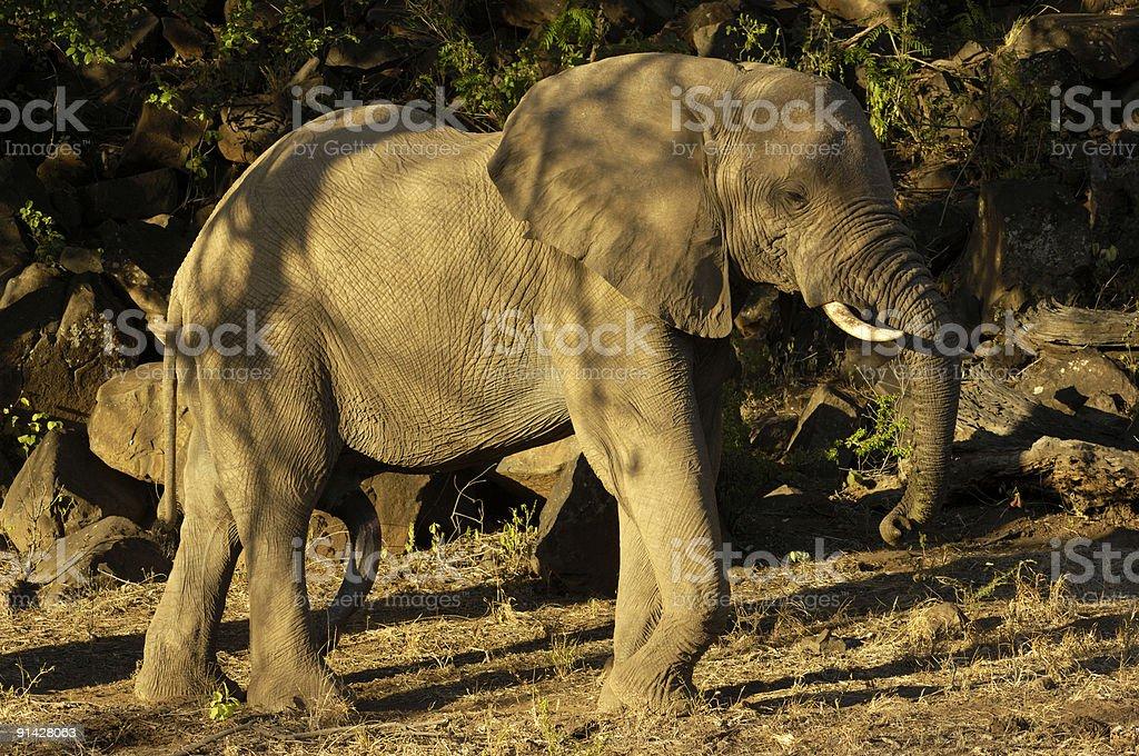 Elephant bull at sunrise royalty-free stock photo