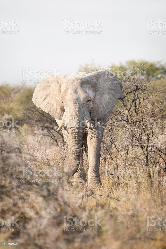 Elephant bull in Etosha National Park. stock photo