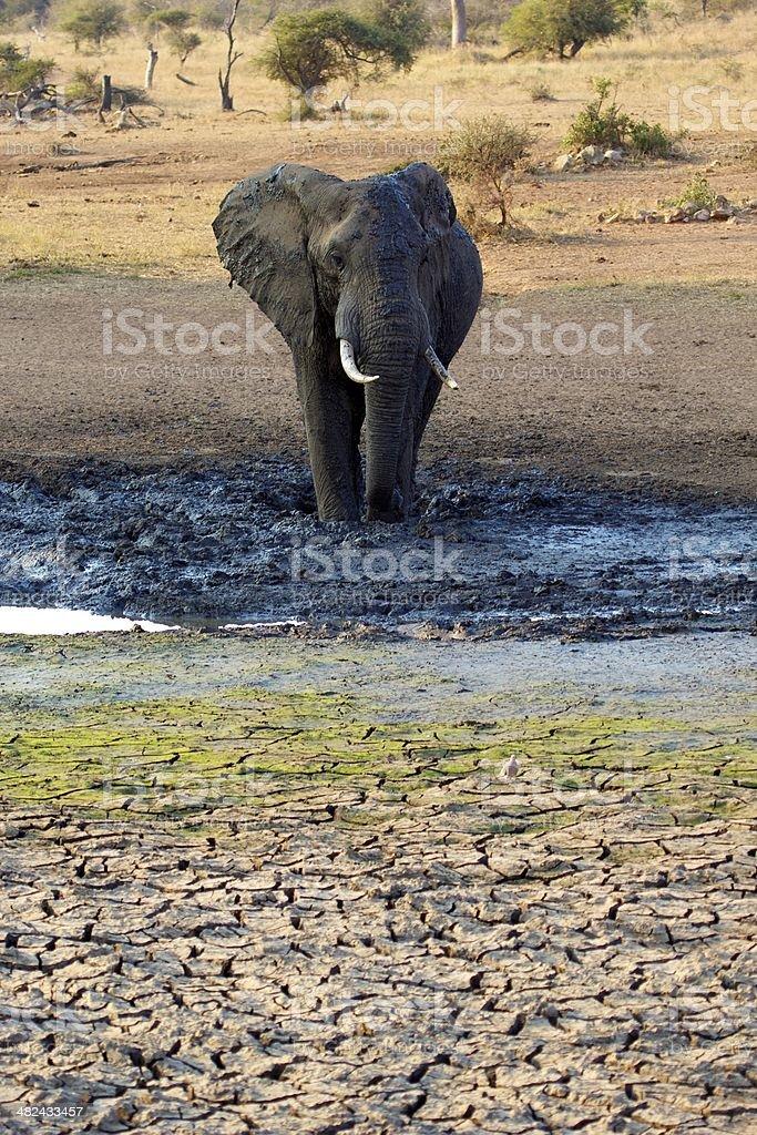 Elephant bull in the mud stock photo