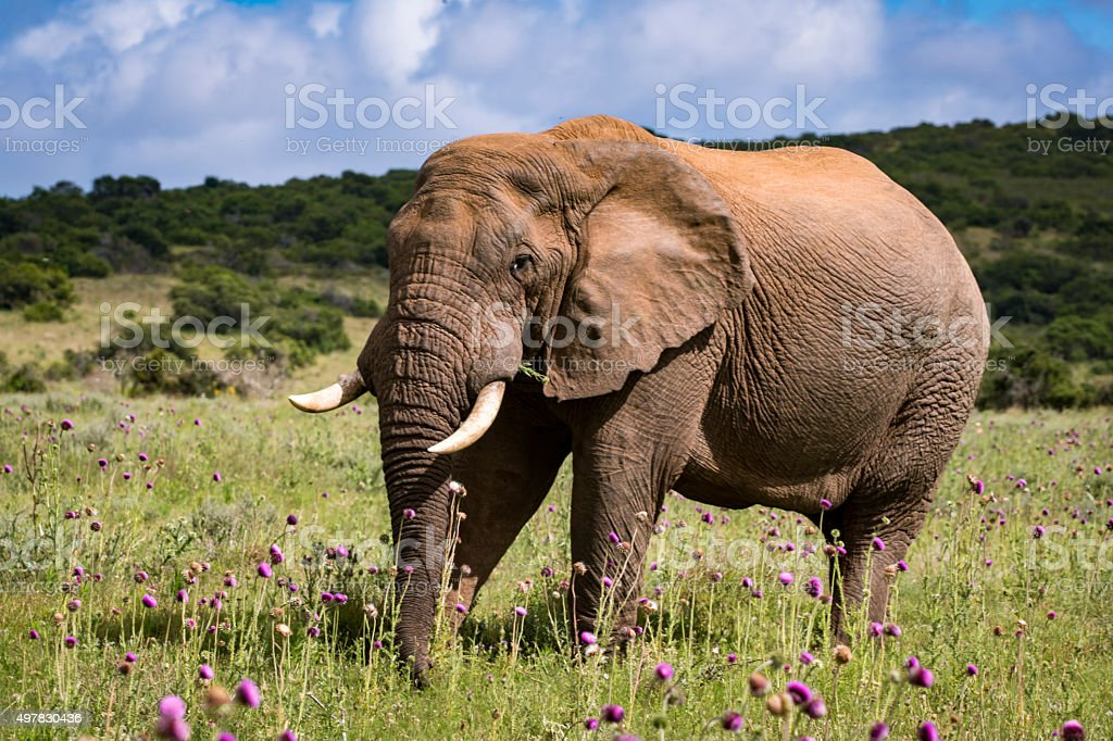 Elephant bull in the thistle stock photo