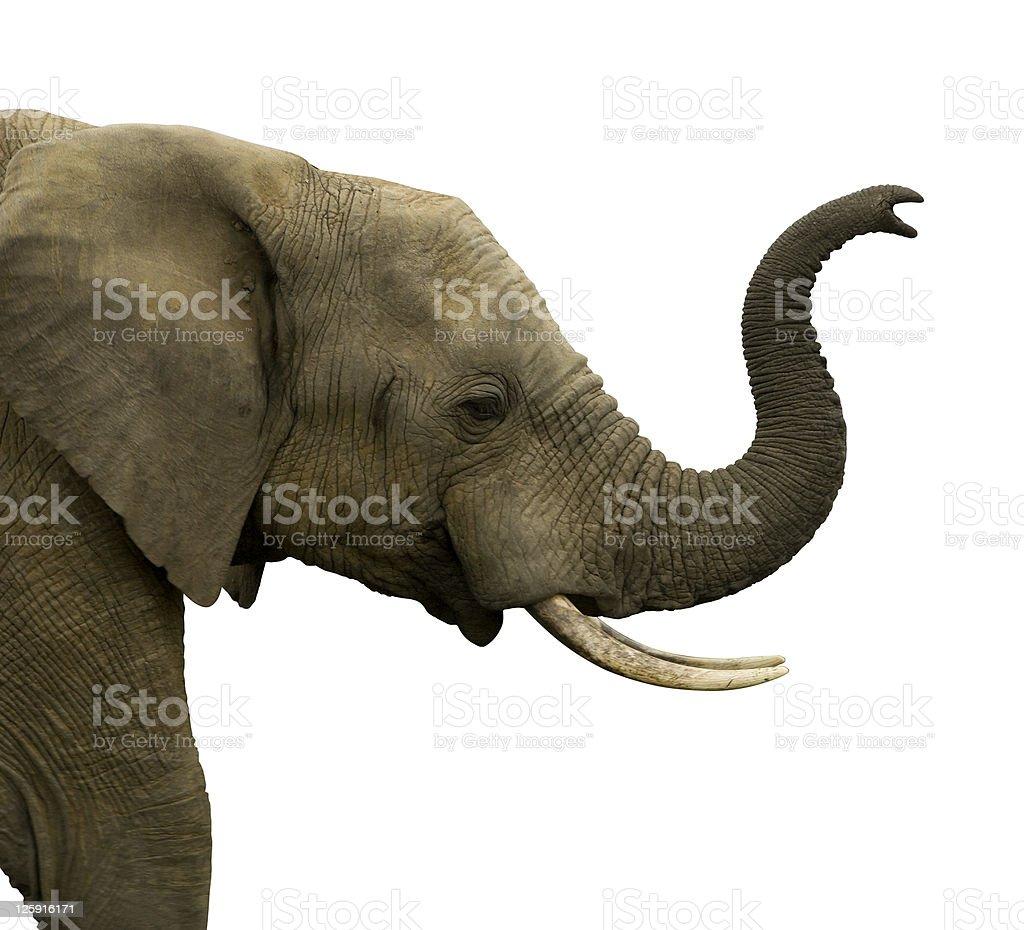 Elephant Bull Isolated on white stock photo