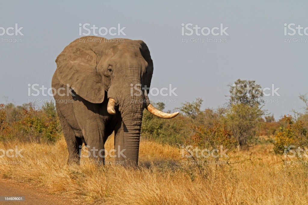 elephant bull stock photo