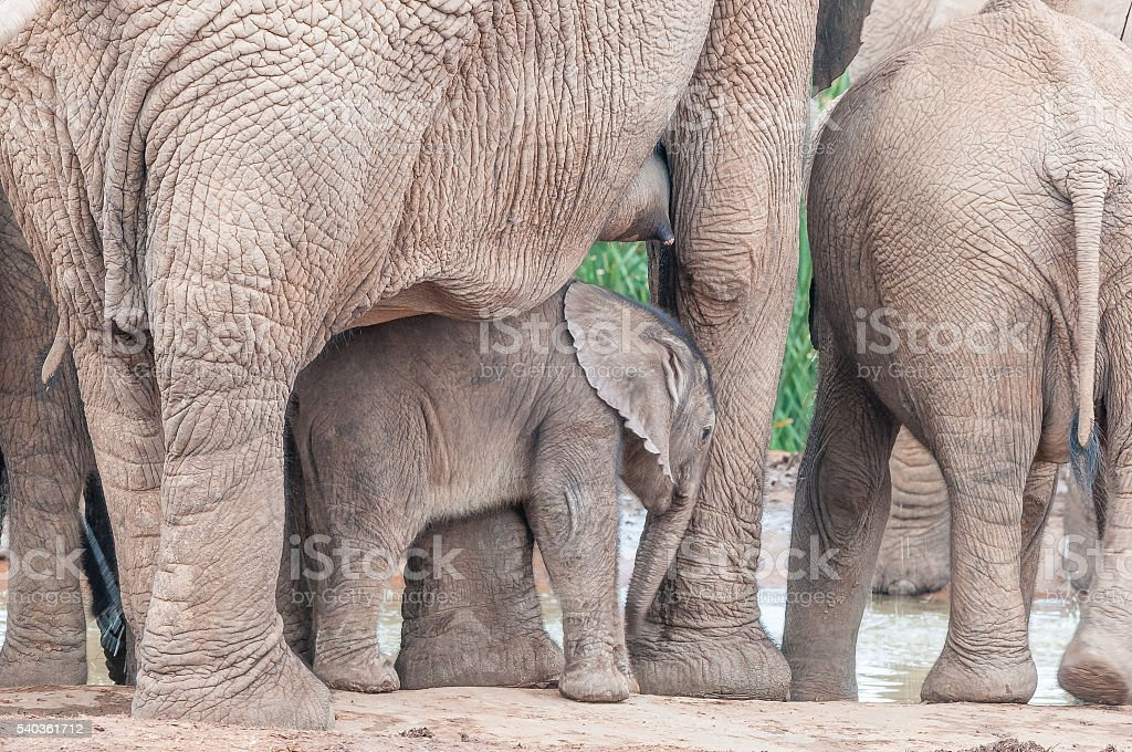 Elephant calf between its mothers legs stock photo