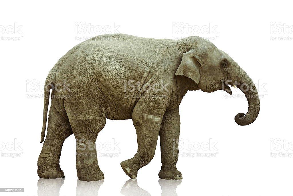 elephant calf stock photo