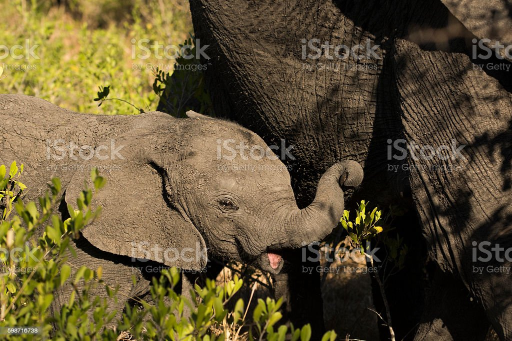 Elephant Calf stock photo
