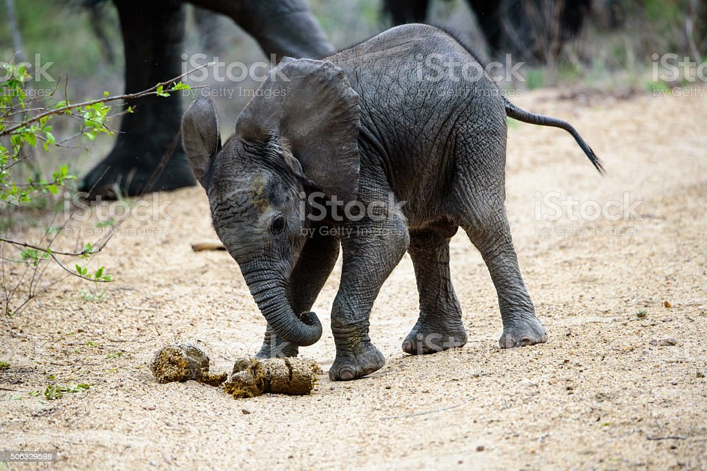 elephant calf playing football with dung stock photo