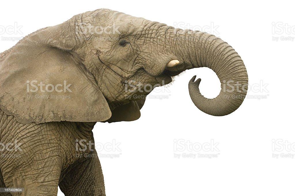 elephant call stock photo