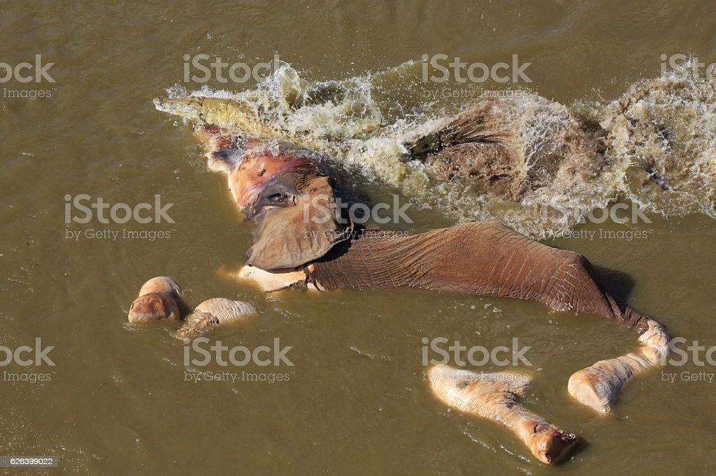 Elephant carcass in river stock photo