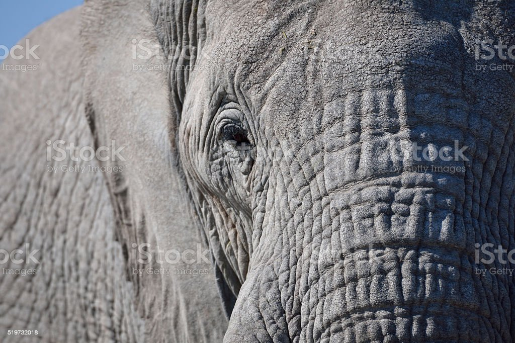elephant close-up stock photo