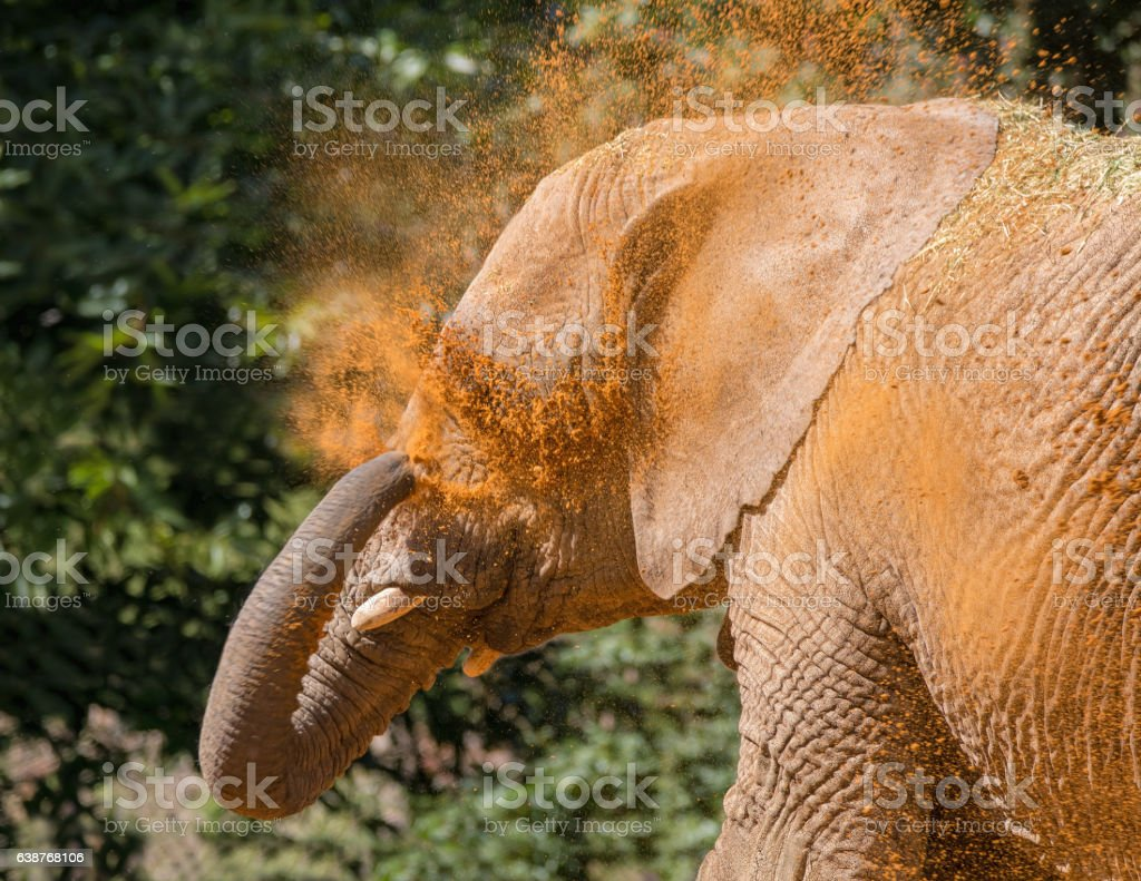 Elephant cooling off with sand. stock photo