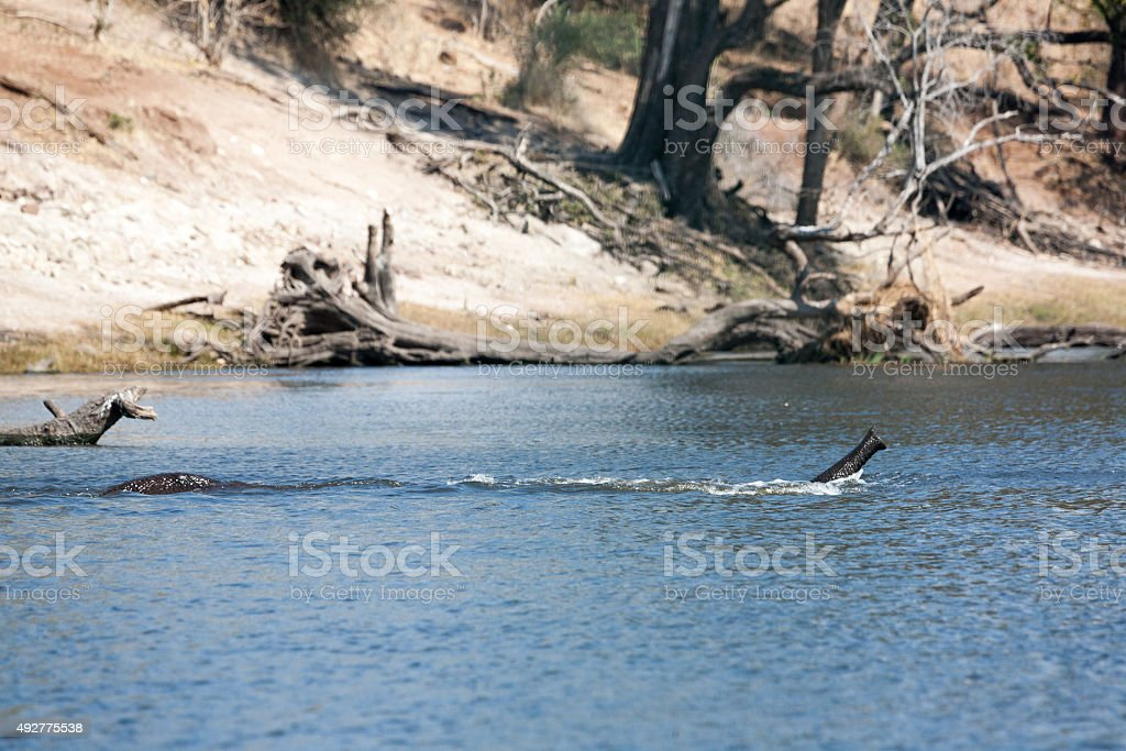 elephant crossing a river stock photo