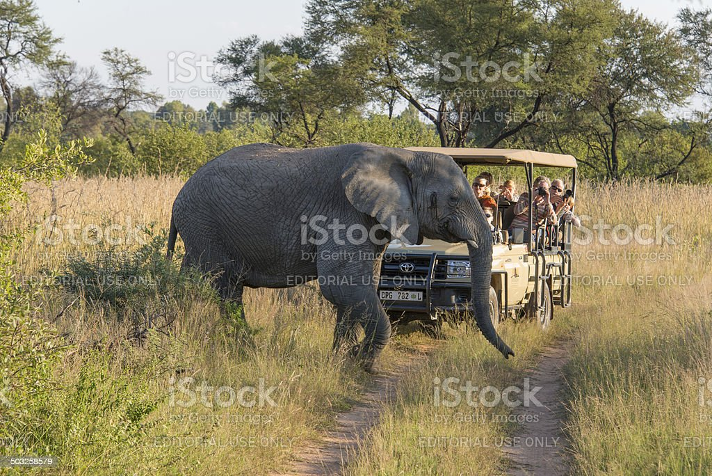 Elephant crossing in front of a safari jeep stock photo