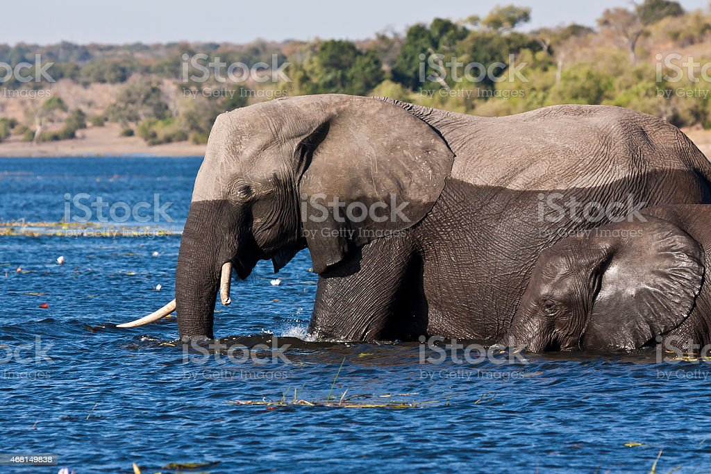 Elephant crossing the Chobe river stock photo