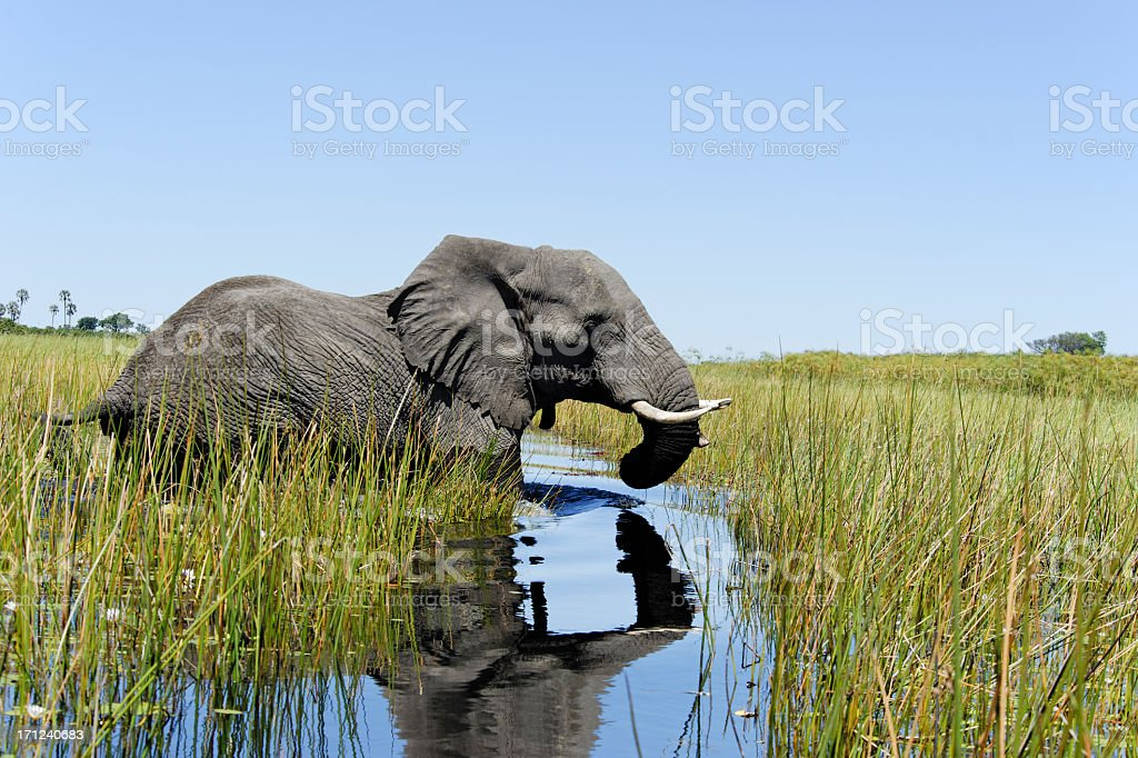 Elephant crossing the water stock photo