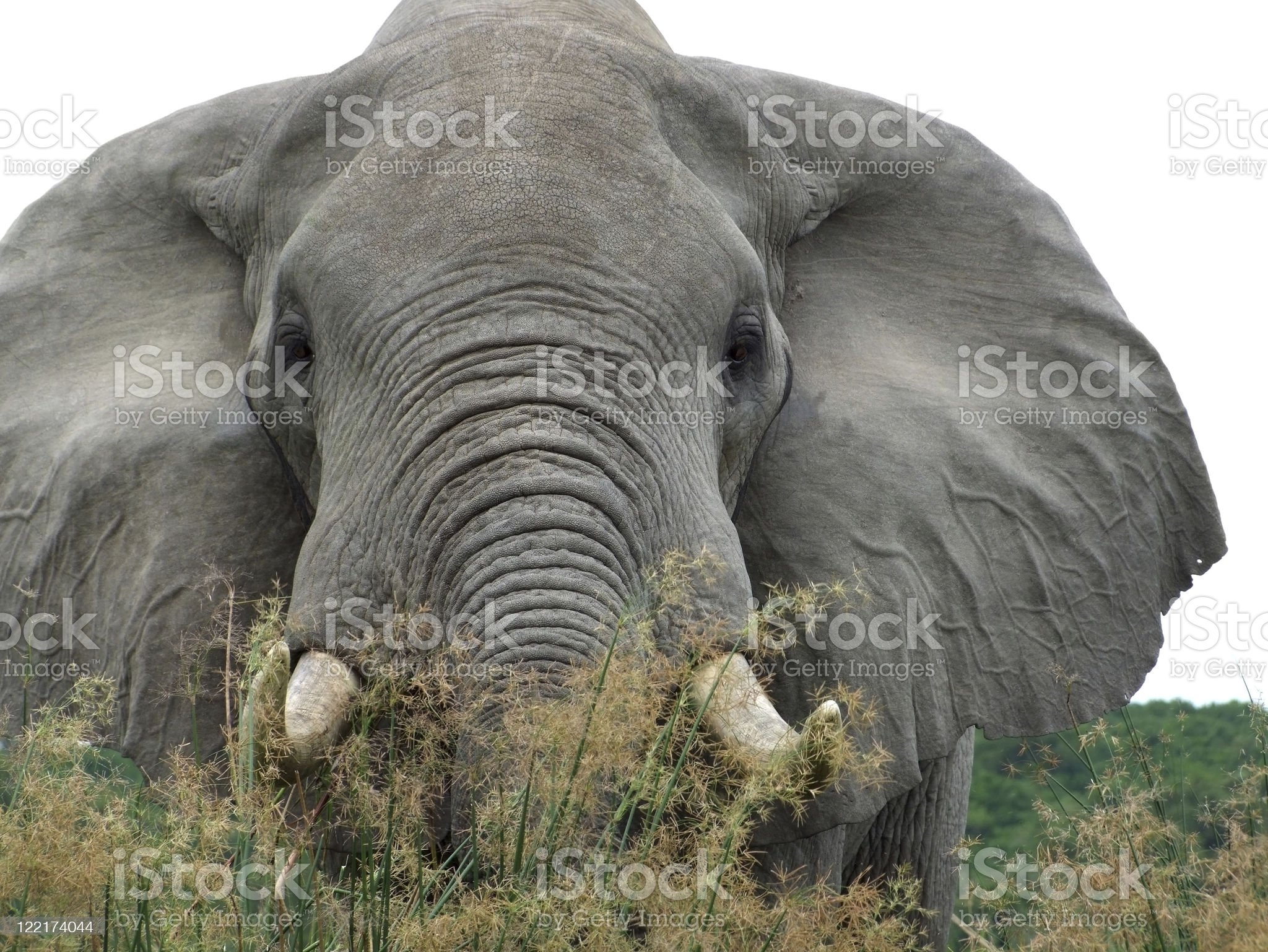 Elephant detail in Africa royalty-free stock photo