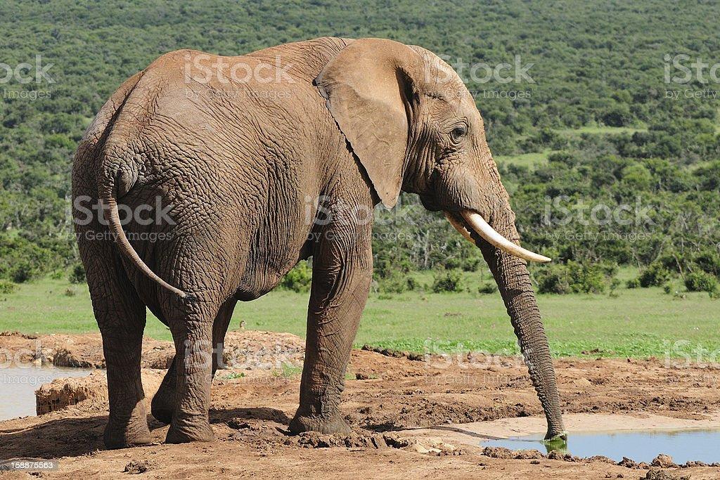 Elephant drinking water at Harpoor Dam royalty-free stock photo