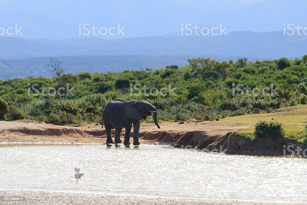 Elephant drinking water from waterhole stock photo
