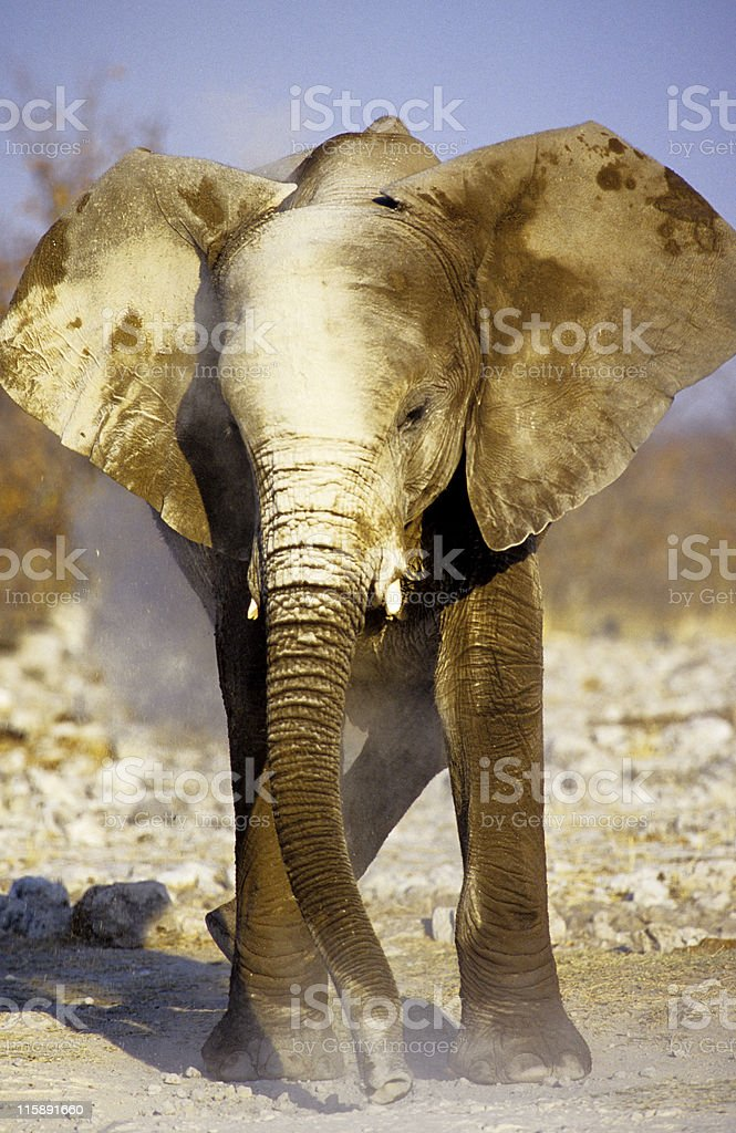 Elephant Dust Bath, Etosha National Park, Namibia royalty-free stock photo