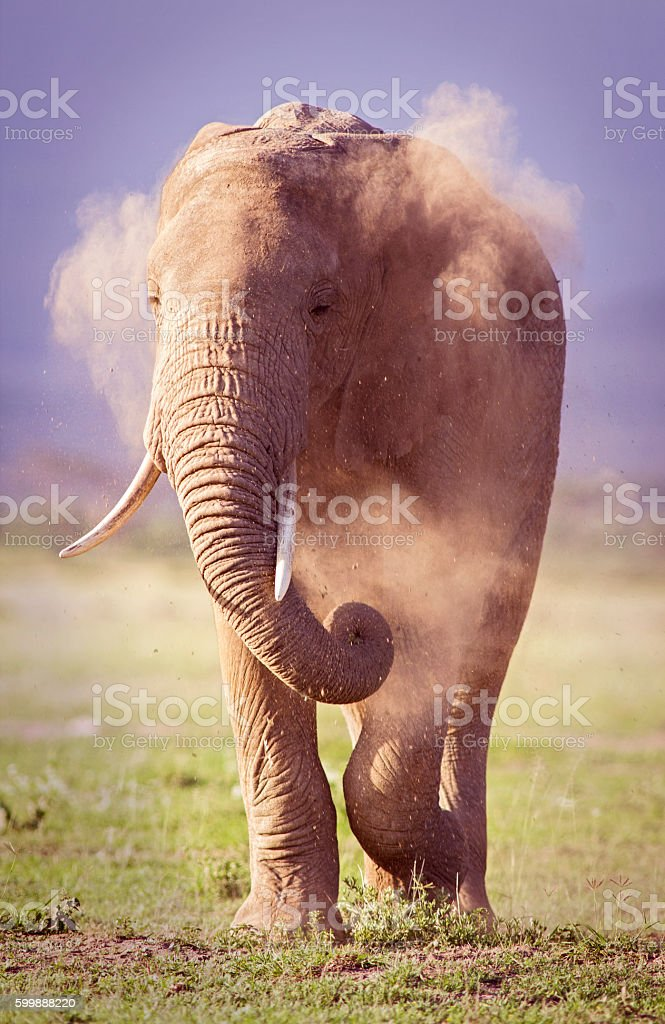 Elephant dust bath stock photo