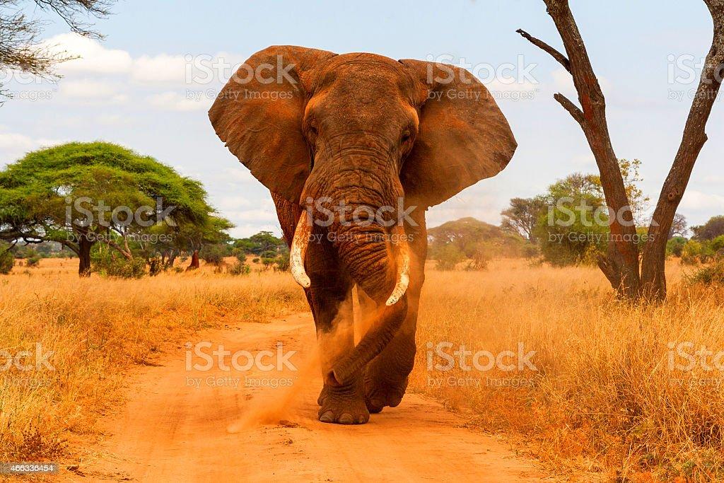 Elephant dusting and walking stock photo
