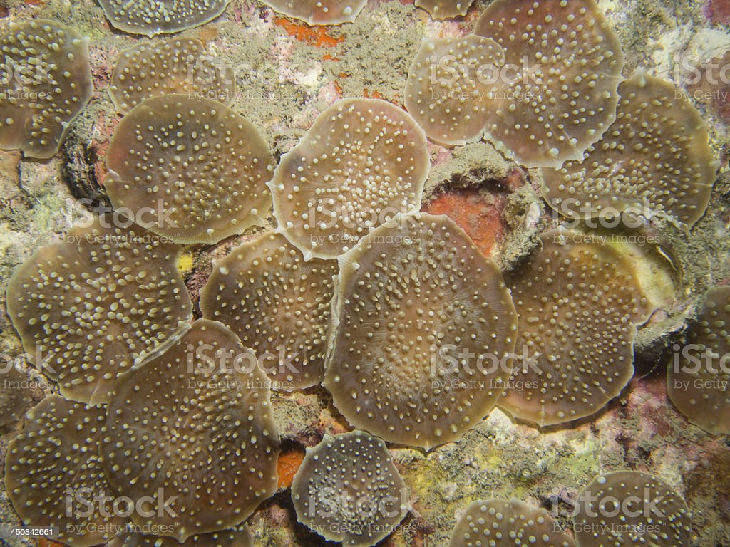 elephant ear corallimorphs stock photo