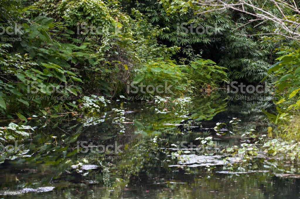 Elephant ear is denser tree By swamp forest stock photo
