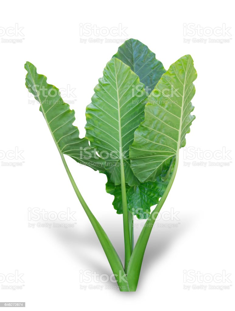 Elephant ear plant or caladium tree stock photo