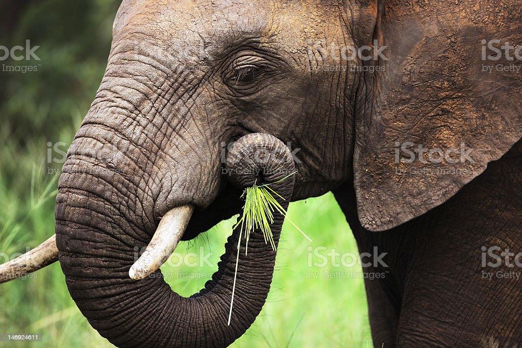 Elephant eating close-up stock photo