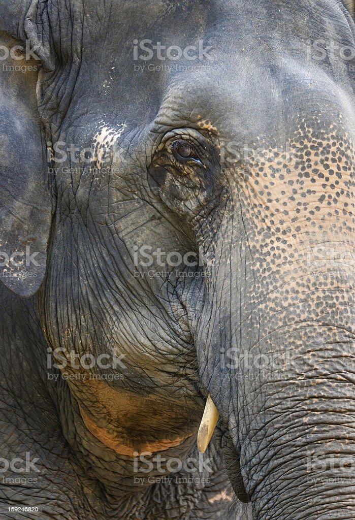 Elephant eye royalty-free stock photo