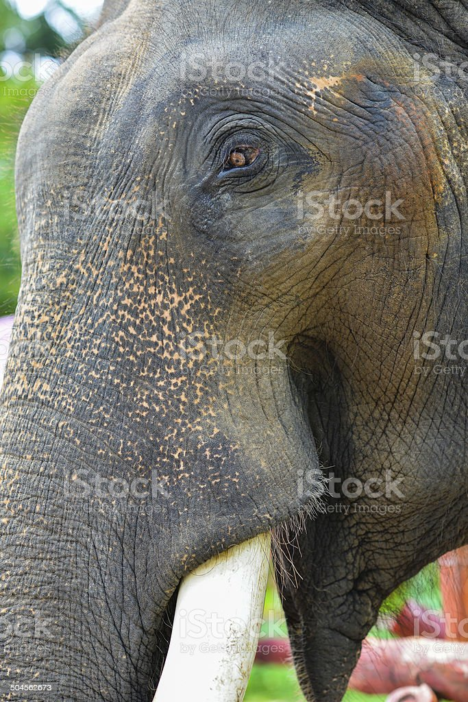 Elephant face, wild life symbols. royalty-free stock photo