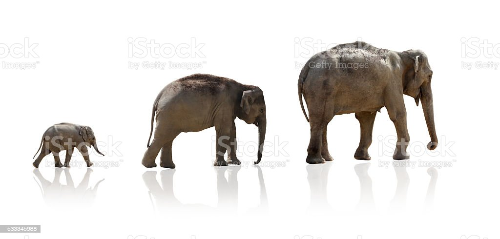 Elephant familiy in a row, isolated stock photo