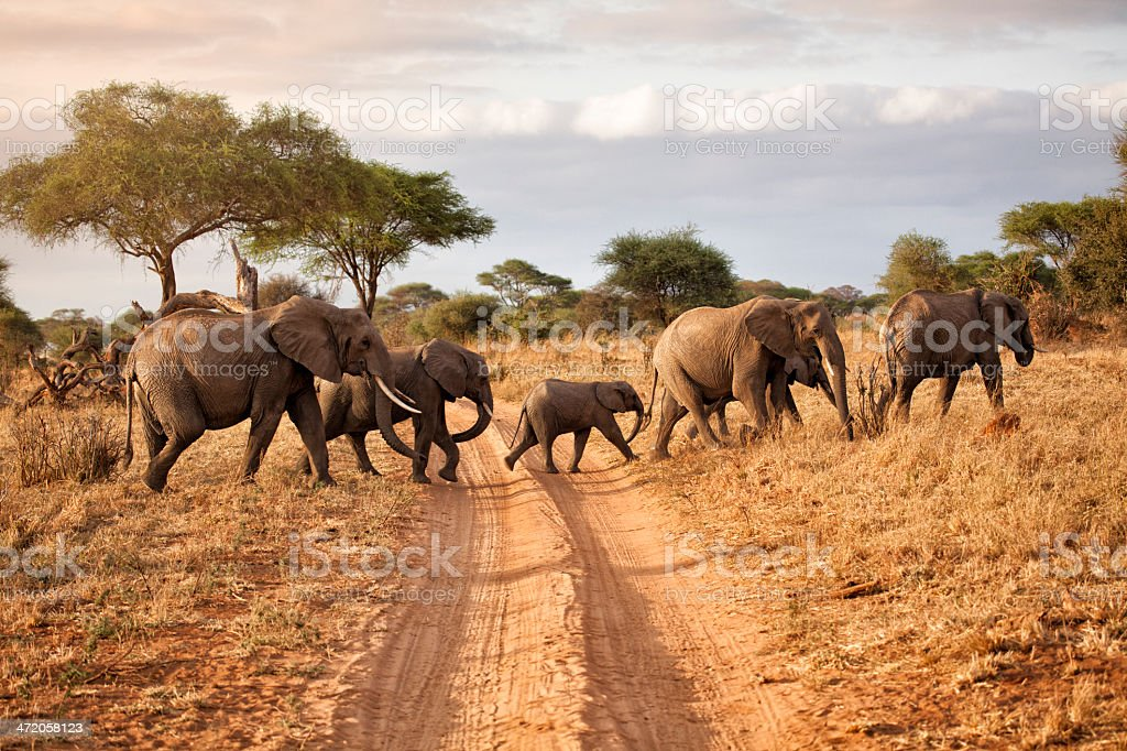 Elephant family at dawn, Africa stock photo