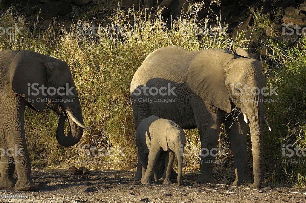 Elephant family at mashatu botswana royalty-free stock photo