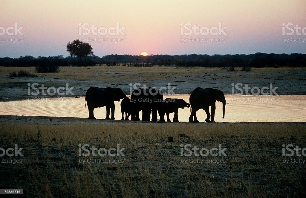 Elephant family at sunset royalty-free stock photo