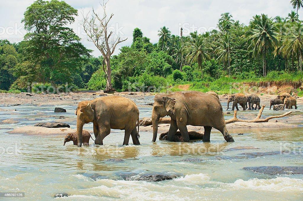 Elephant family cross river in Pinnawala, Sri Lanka. stock photo