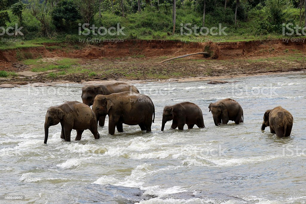 elephant family crosses the river royalty-free stock photo