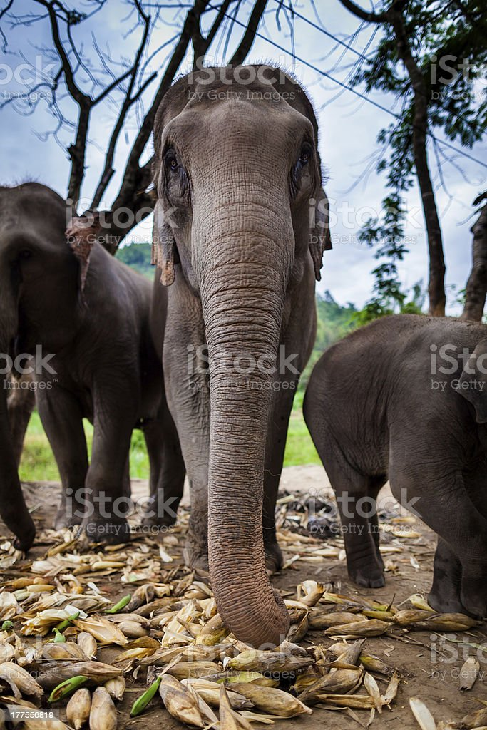 Elephant family group play and eat together stock photo