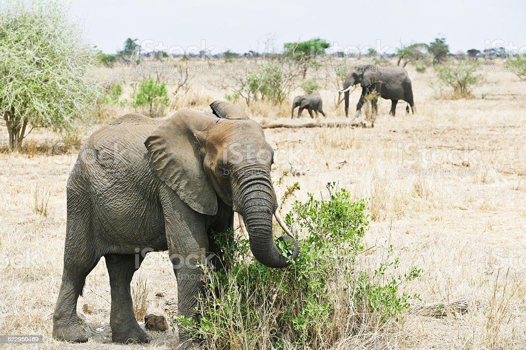 Elephant family in Kruger Park stock photo