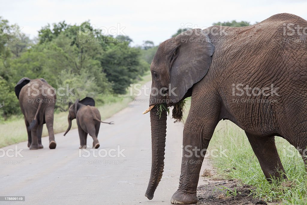 Elephant family is crossing the road royalty-free stock photo